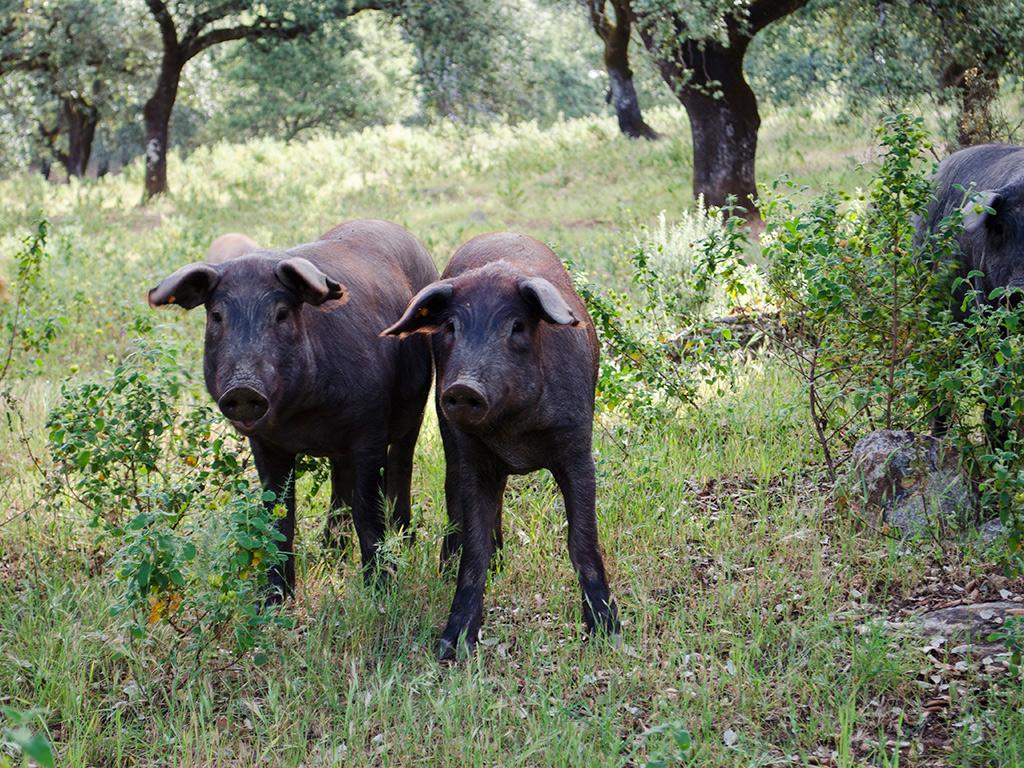 El ganado porcino es pieza fundamental en la comarca.