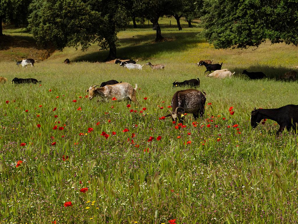 Cabras antes de llegar a Aroche.