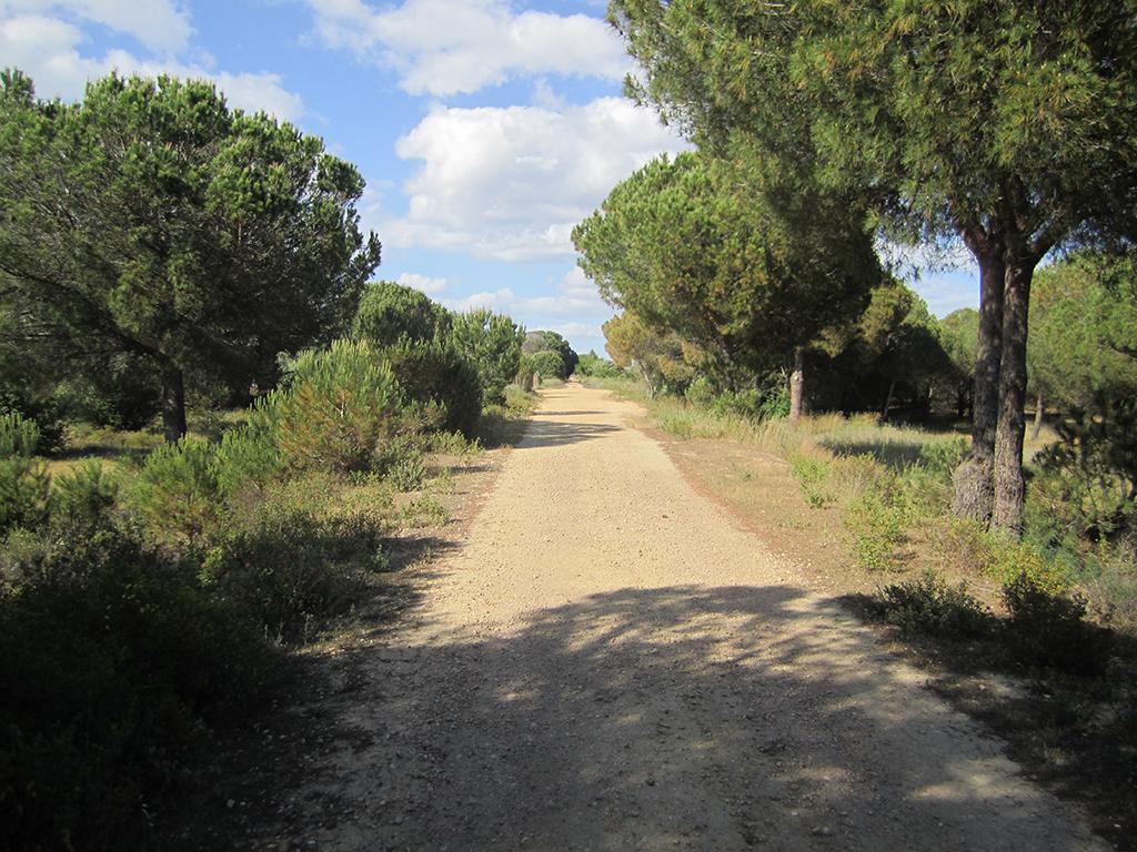Pinares en el entorno de la Vía Verde, tramo entre La Redondela y Lepe
