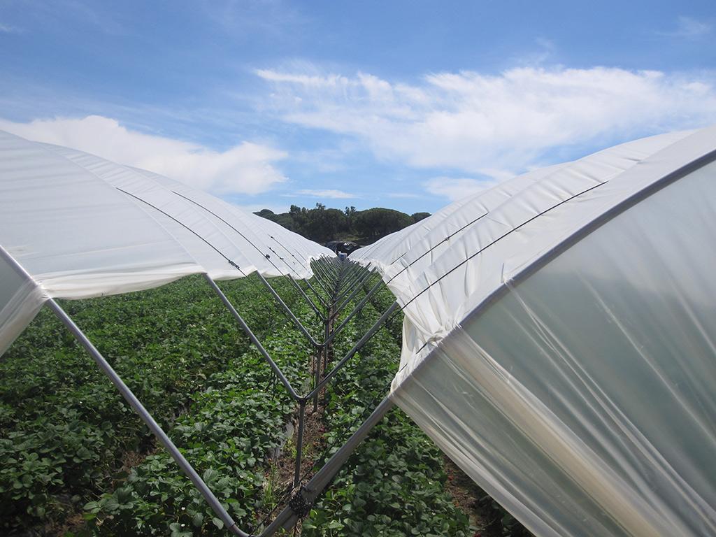 Cultivo de fresón en los invernaderos