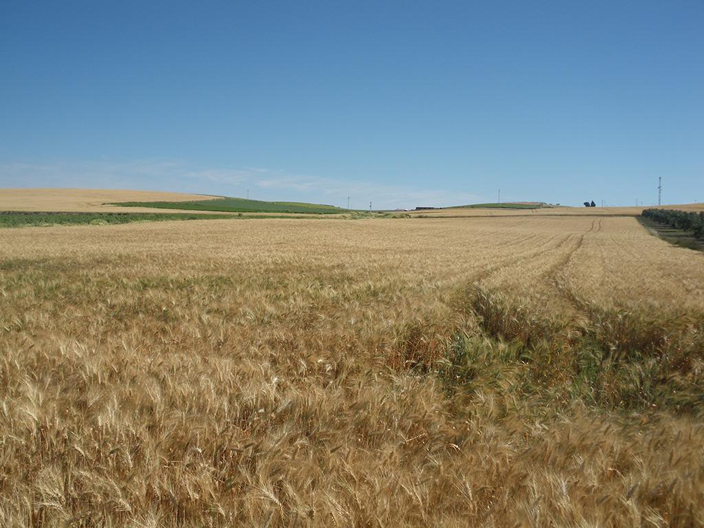 Campos de Trigo, cerca de Paterna del Campo